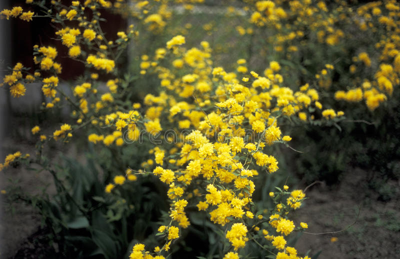 Kerria japonica. Blossom in the spring stock photos