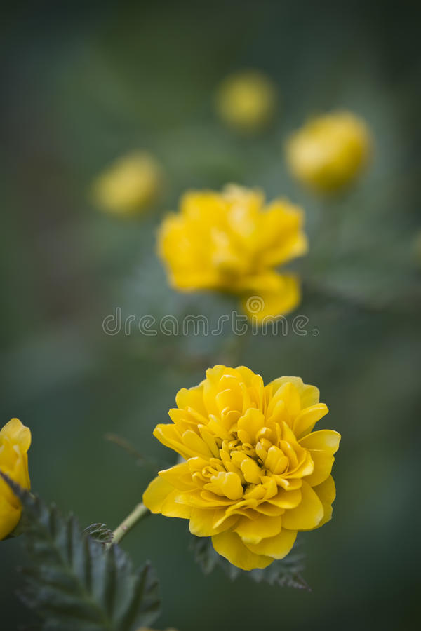 Kerria japonica. Rosaceae yellow spring flower stock photos
