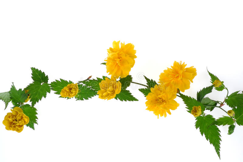 Kerria japonica. Isolated on white stock photo