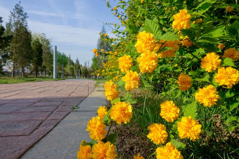 Spring park. The Kerria japonica are blooming in spring park royalty free stock image