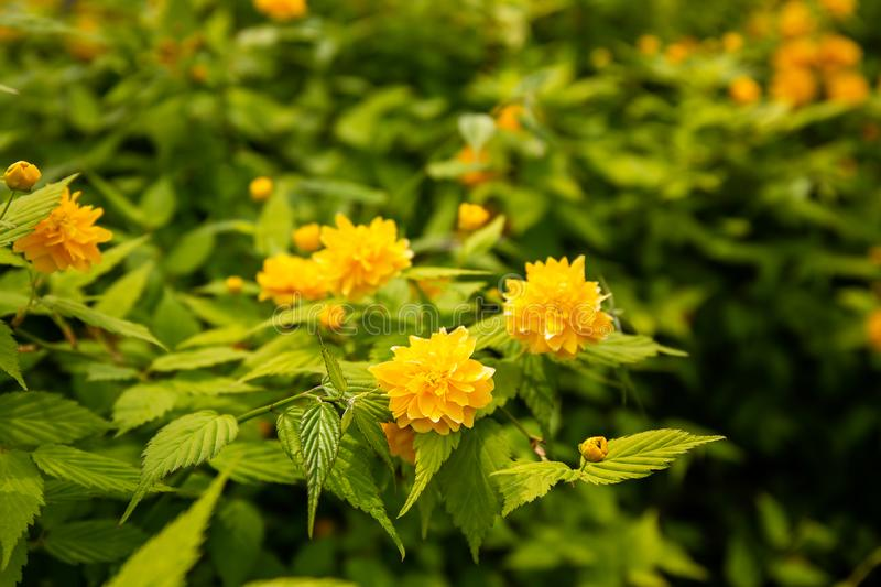 Kerria Japonica in the forest. Kerria Japonica, in the depth of the tropical rainforest with great care to be admired and photographed by the tourists of the royalty free stock images