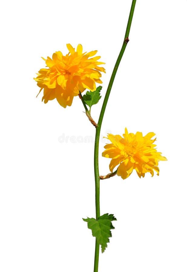 Kerria (japonica di Kerria) fotografia stock