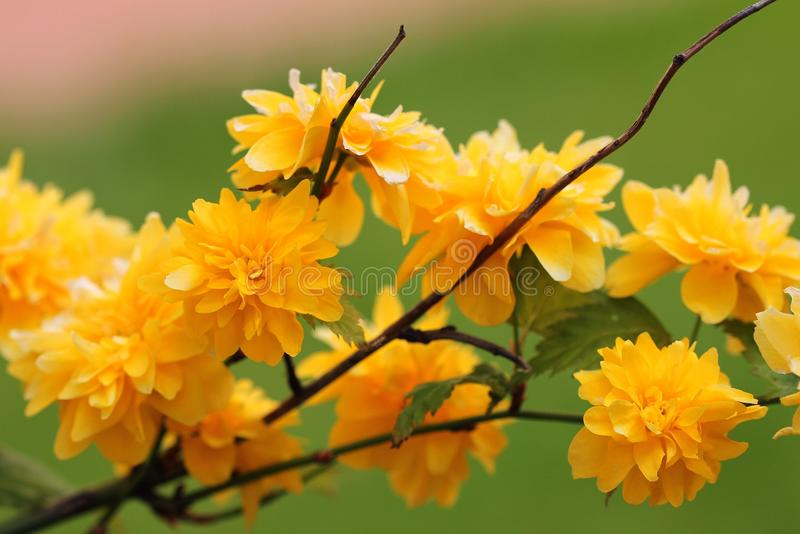 Kerria japonica. Flowering branch of kerria japonica stock images