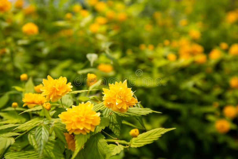 Kerria Japonica in the forest. Kerria Japonica, in the depth of the tropical rainforest with great care to be admired and photographed by the tourists of the royalty free stock image