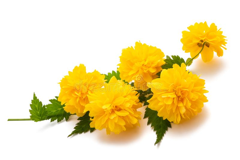 Kerria Kerria japonica. Isolated on white background stock image