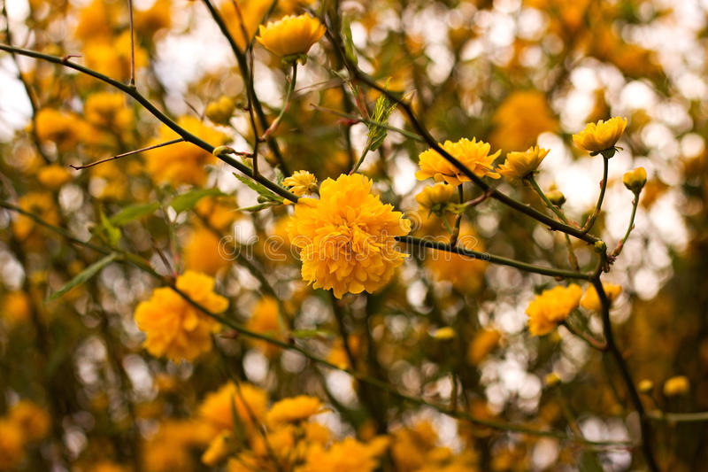 Kerria japonica. Or Pleniflora in spring time royalty free stock photo