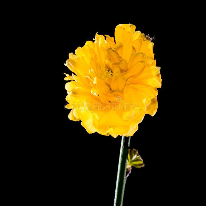Download Kerria stock photo. Image of shrub, flower, black, flora - 39616888