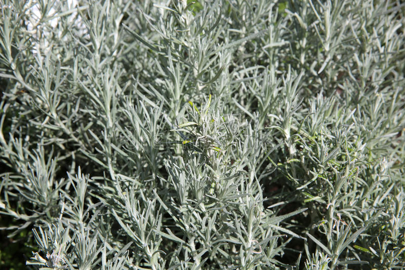 Kerrie Herb Plant royalty-vrije stock foto