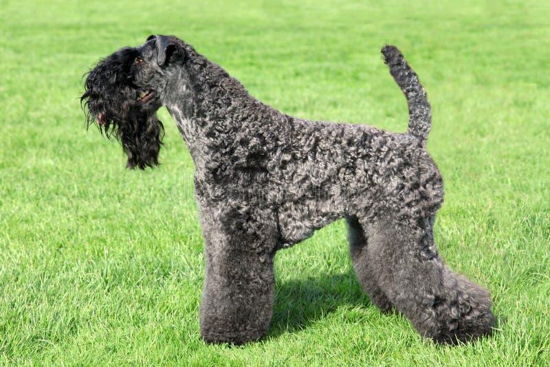 Kerry Blauw Terrier stock foto