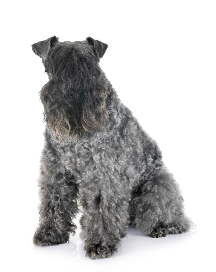 Kerry Blue Terrier And Chihuahua Stock Image - Image of