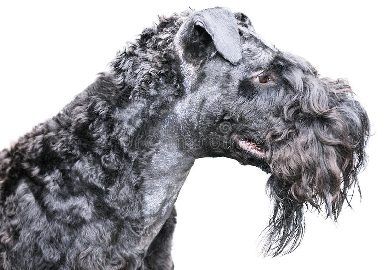 Kerry blue terrier over white royalty free stock photography