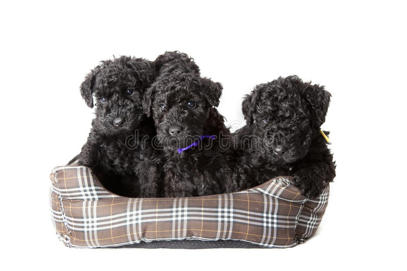 Kerry Blue Terrier puppies royalty free stock images