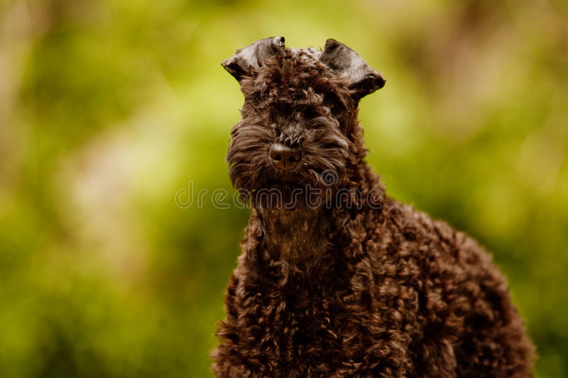 Kerry blue terrier puppy. Looking at the camera stock images