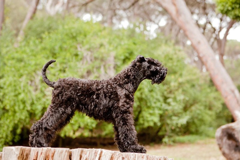 Kerry blue terrier puppy stacking. Kerry blue terrier puppy in stack position stock photo
