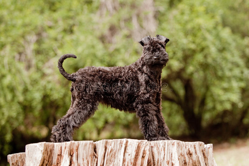 Kerry blue terrier puppy standing. On a log in the forest stock images