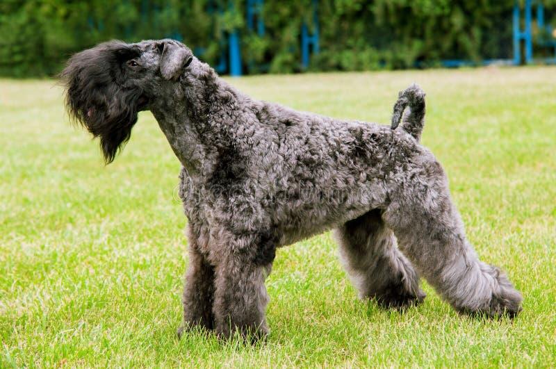 Kerry Irish Blue Terrier-Hundeausstellungsmoment lizenzfreies stockbild