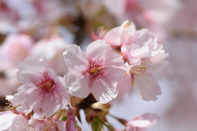 Kers bloosoms in volledige bloei/Maart-landschap in Japan stock foto