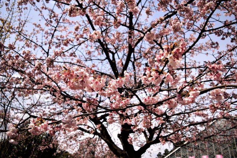 Kers bloosoms in volledige bloei/Maart-landschap in Japan royalty-vrije stock afbeelding