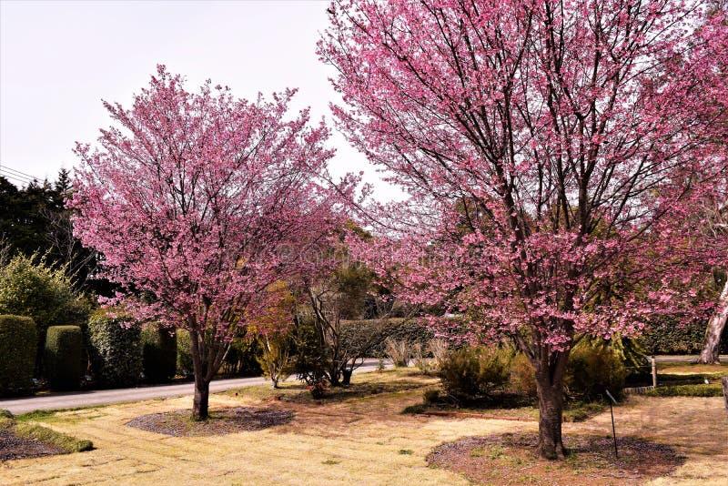 Kers bloosoms in volledige bloei/Maart-landschap in Japan stock fotografie