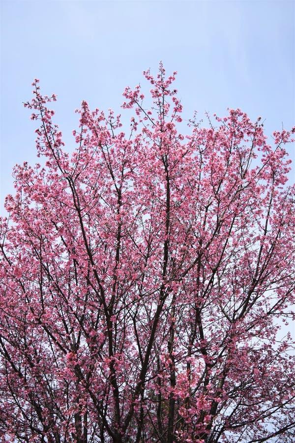 Kers bloosoms in volledige bloei/Maart-landschap in Japan stock afbeeldingen
