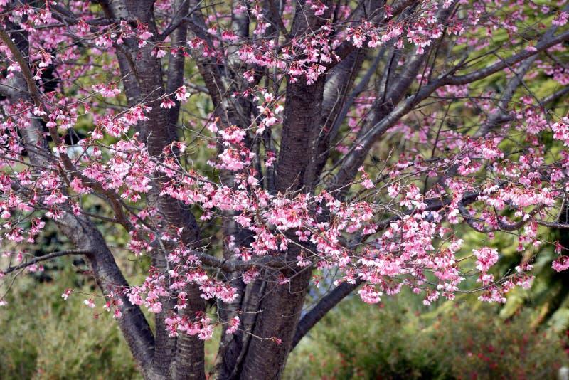 Kers bloosoms in volledige bloei/Maart-landschap in Japan royalty-vrije stock fotografie