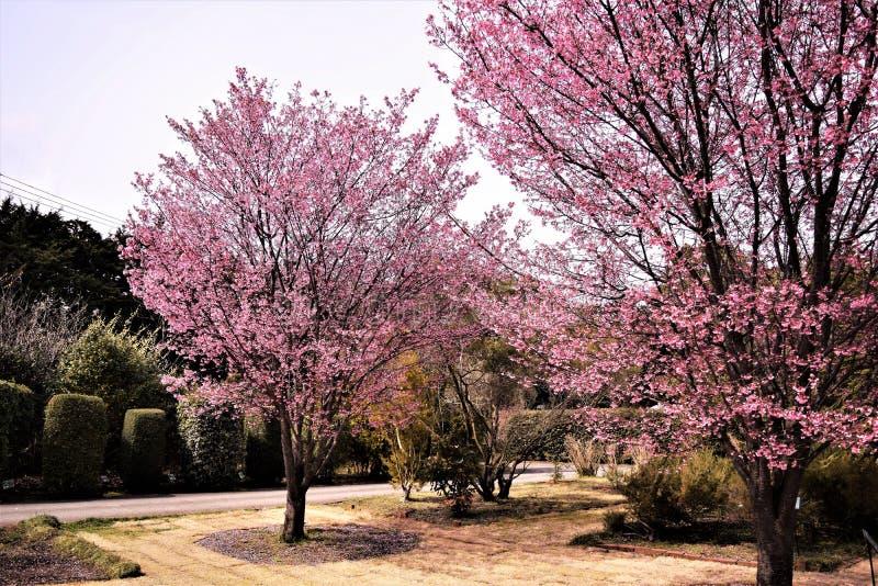 Kers bloosoms in volledige bloei/Maart-landschap in Japan royalty-vrije stock foto