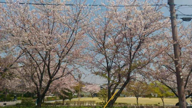 Kers/Sakura-boom van wegkant royalty-vrije stock fotografie
