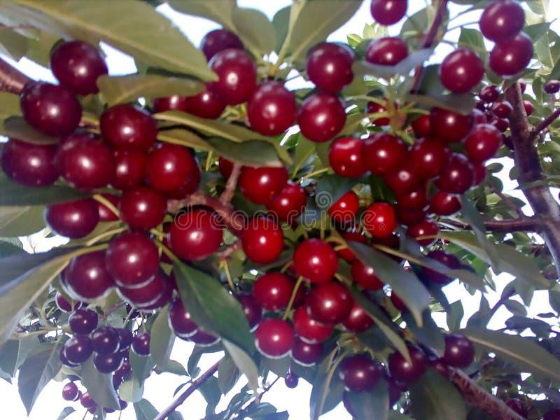 Kersen op de tak van de boom stock fotografie