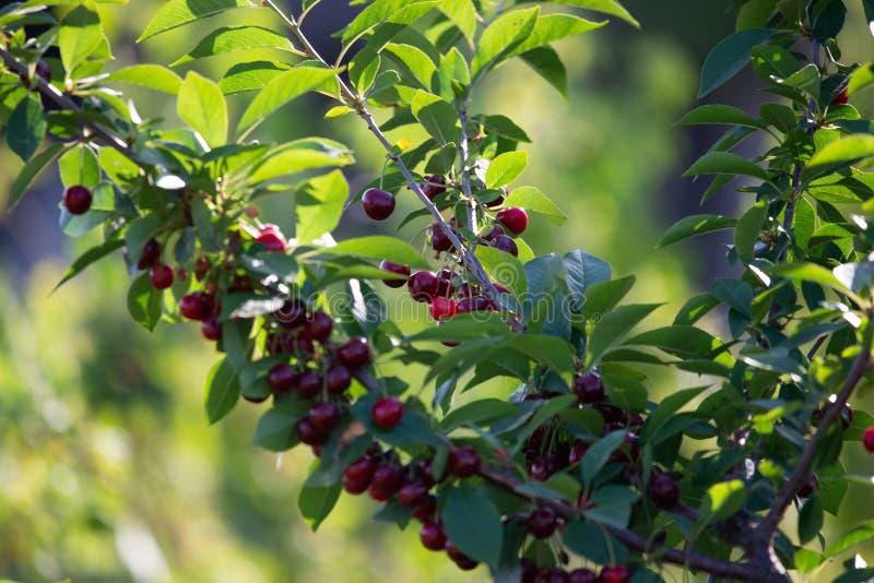 Kersen op een tak van een fruitboom in de zonnige tuin Bos van Verse kers op tak in zomer royalty-vrije stock afbeelding