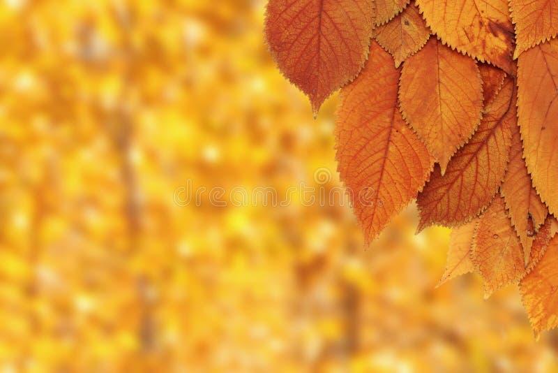 Kersenbladeren over bosachtergrond royalty-vrije stock foto's
