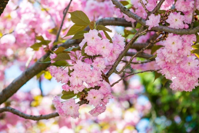 Download Kersenbloem, Bloesem Bij De Lente Stock Afbeelding - Afbeelding bestaande uit roze, tuin: 54088473