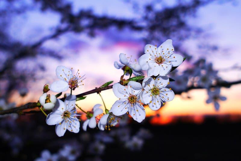 Kersenbloemen bij zonsondergang stock foto's