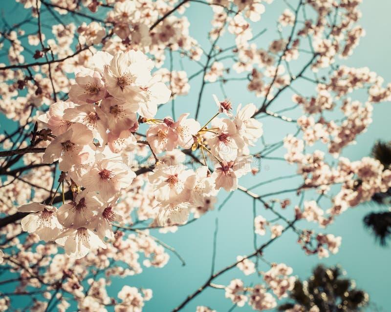 Kersenbloemen in bloei royalty-vrije stock foto's