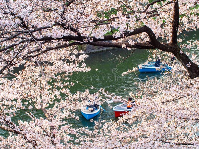 Kersenbloesem, de seizoengebonden Lente van Sakura-bloem stock afbeeldingen
