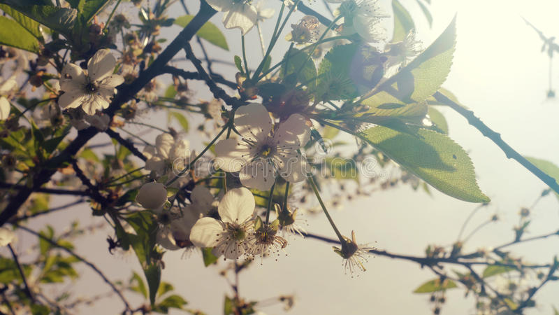 Kersenbloesem op een tak van een boom in de de lentezonneschijn Het royalty-vrije stock afbeeldingen