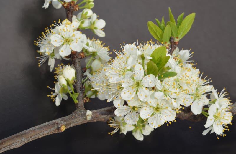Kersenbloesem op zwarte achtergrond wordt ge?soleerd die De tak van de kersenboom het bloeien royalty-vrije stock fotografie