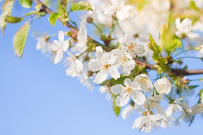 Kersenbloesem, Prunus cerasus, witte tedere bloemen in de lente op blauwe hemel, ondiepe dof, de seizoengebonden foto van de aard royalty-vrije stock afbeelding
