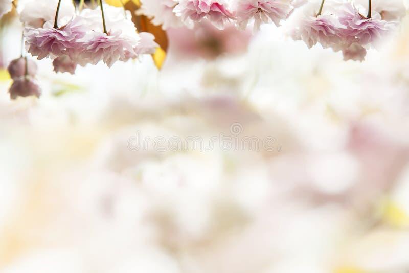 Kersenbloesem, roze bloemen in het bloeien met aardige achtergrond royalty-vrije stock afbeeldingen