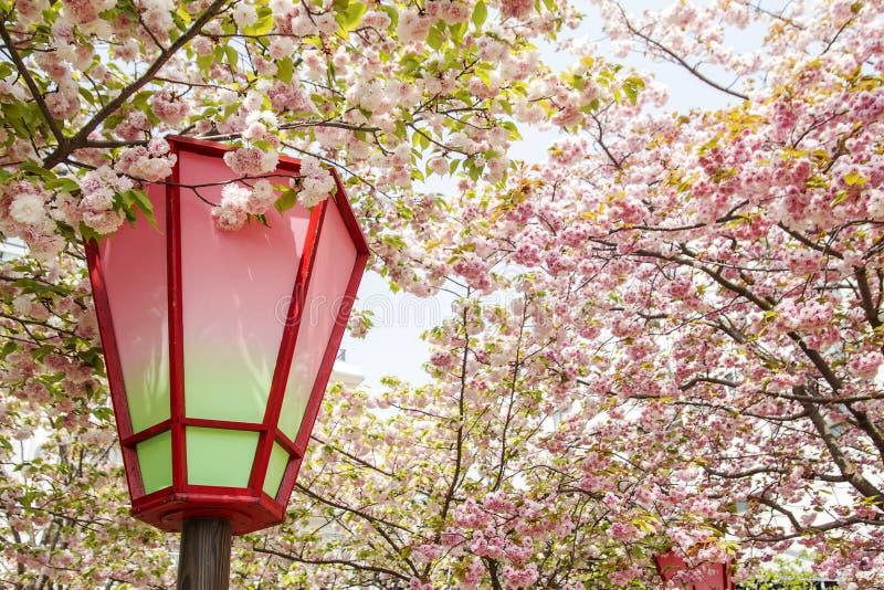 Kersenbloesem, roze bloemen in het bloeien met aardige achtergrond stock foto