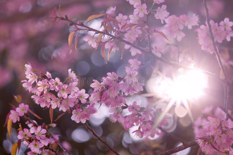 Kersenbloesem of roze sakurabloem met zonnestraal stock afbeelding