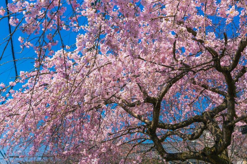Kersenbloesem Sakura rond filosoofweg in de lente, Kyoto, Japan royalty-vrije stock afbeeldingen