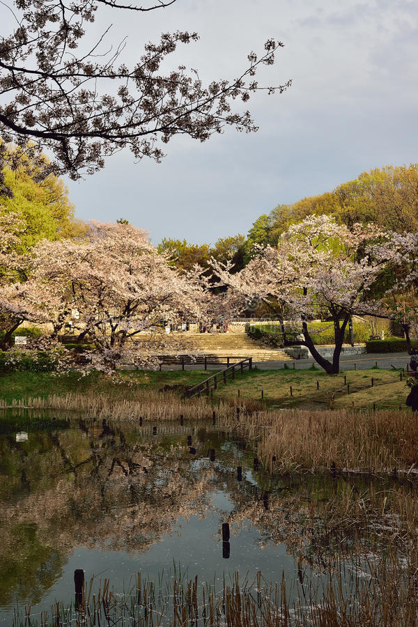 Kersenbloesem in Tokyo, Japan stock afbeelding