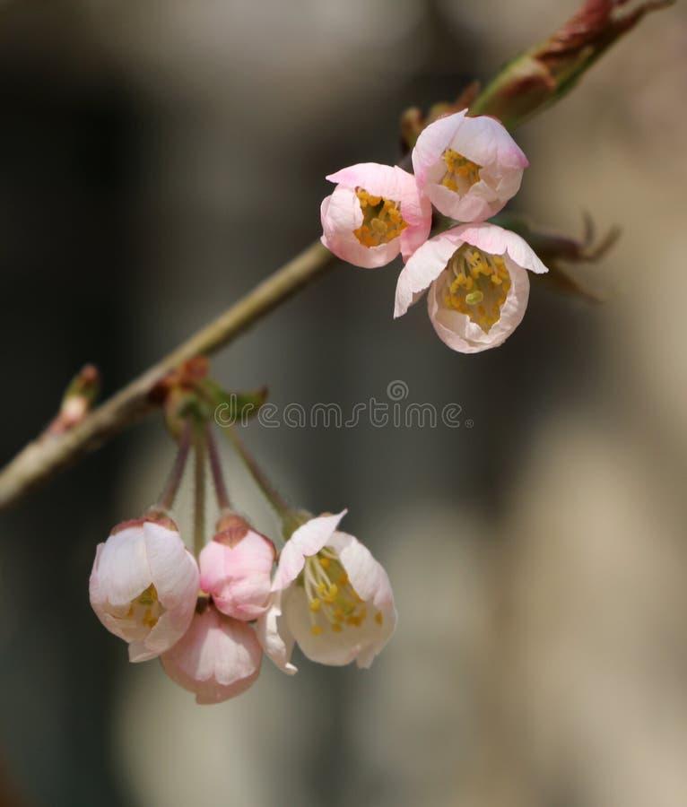 Kersenbloesems in de lente royalty-vrije stock foto