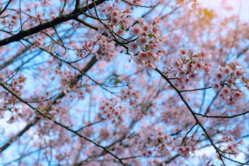 Kersenbloesems of Sakura in de winter op zonsopgang voor achtergrond Seletive brandpunts stock fotografie