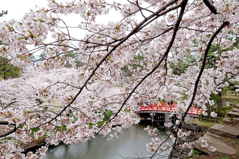 Kersenbloesems, sakura in Japanner, en rode brug in Japan stock afbeeldingen