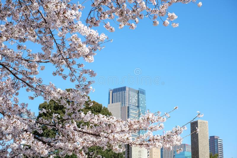 Kersenbloesems in volledige bloei in de stad, Tokyo royalty-vrije stock afbeelding