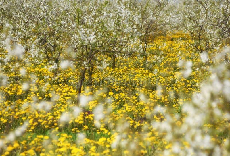 Kersenbomen in bloesem, kersenboomgaard in de lente, bloemen dande royalty-vrije stock afbeeldingen