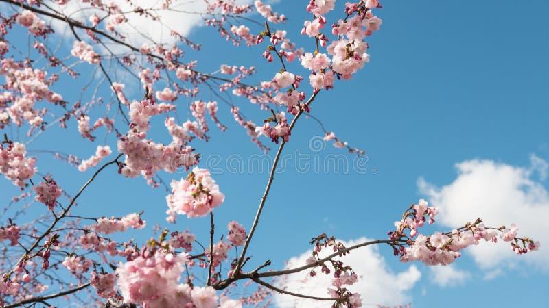 Kersenbomen die - Bloesem roze bloemen bloeien stock afbeelding