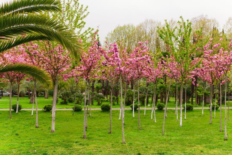 Kersenbomen die met roze bloemen bloeien royalty-vrije stock foto's