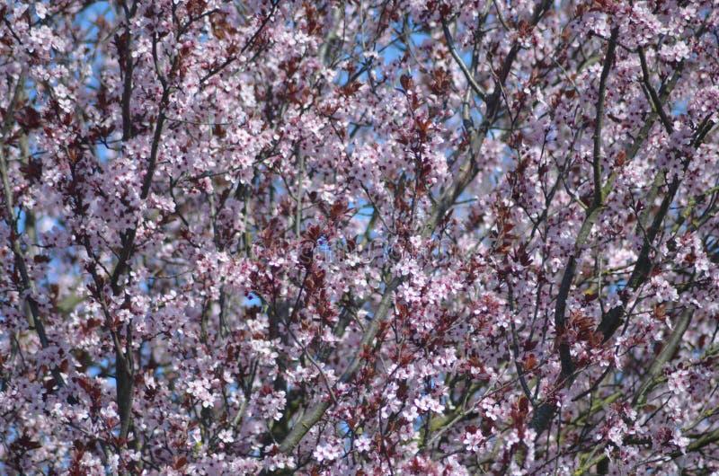 Kersenboom in bloei stock afbeelding
